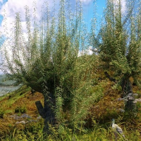 Old Man Willow - White Willow Trees for Daz Studio and Iray