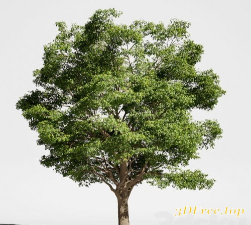 Tree Oak generic