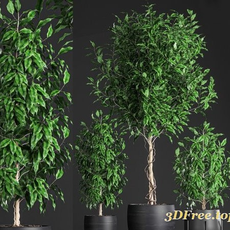 Cgtrader - Ficus benjamina trees in a flowerpot for interior design 553 3D model